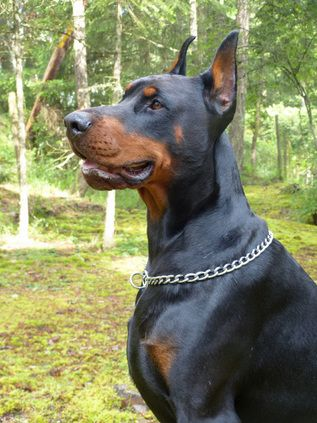 Male European Dobermans European Doberman Stud Ckc Doberman