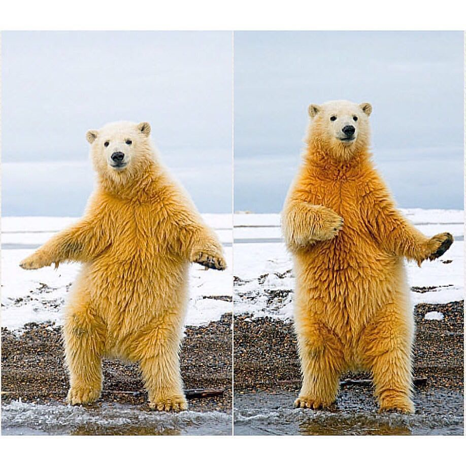 Instagram Polar Bear Funny Animals Bear