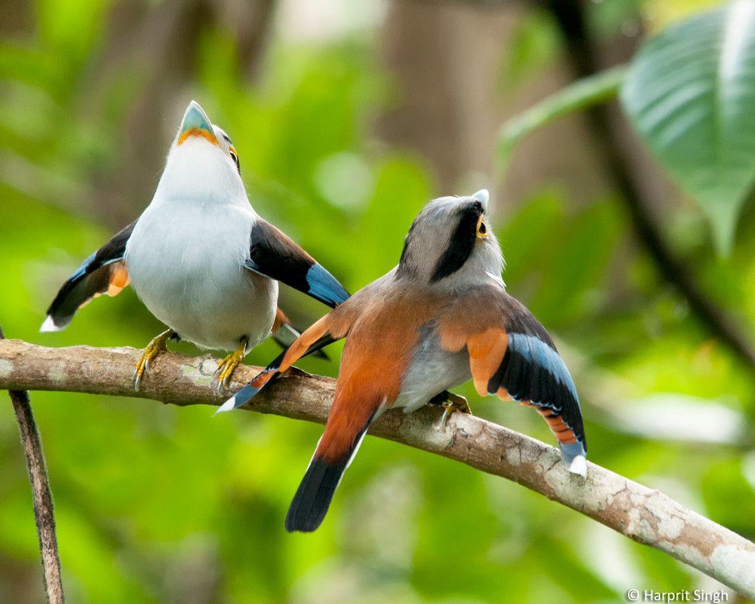 (via 500px / Silver-breasted Broadbills Courtship by Harprit Singh)