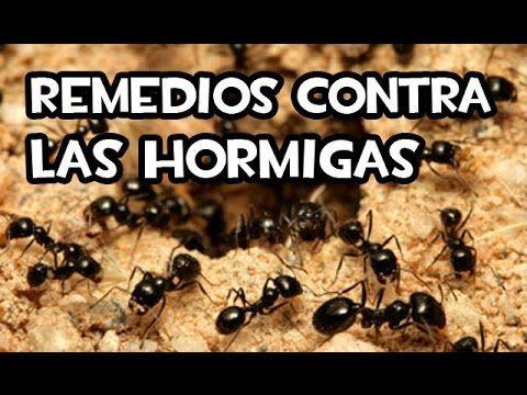 Remedios contra las hormigas caseros youtube huerto - Remedios caseros para eliminar hormigas en casa ...