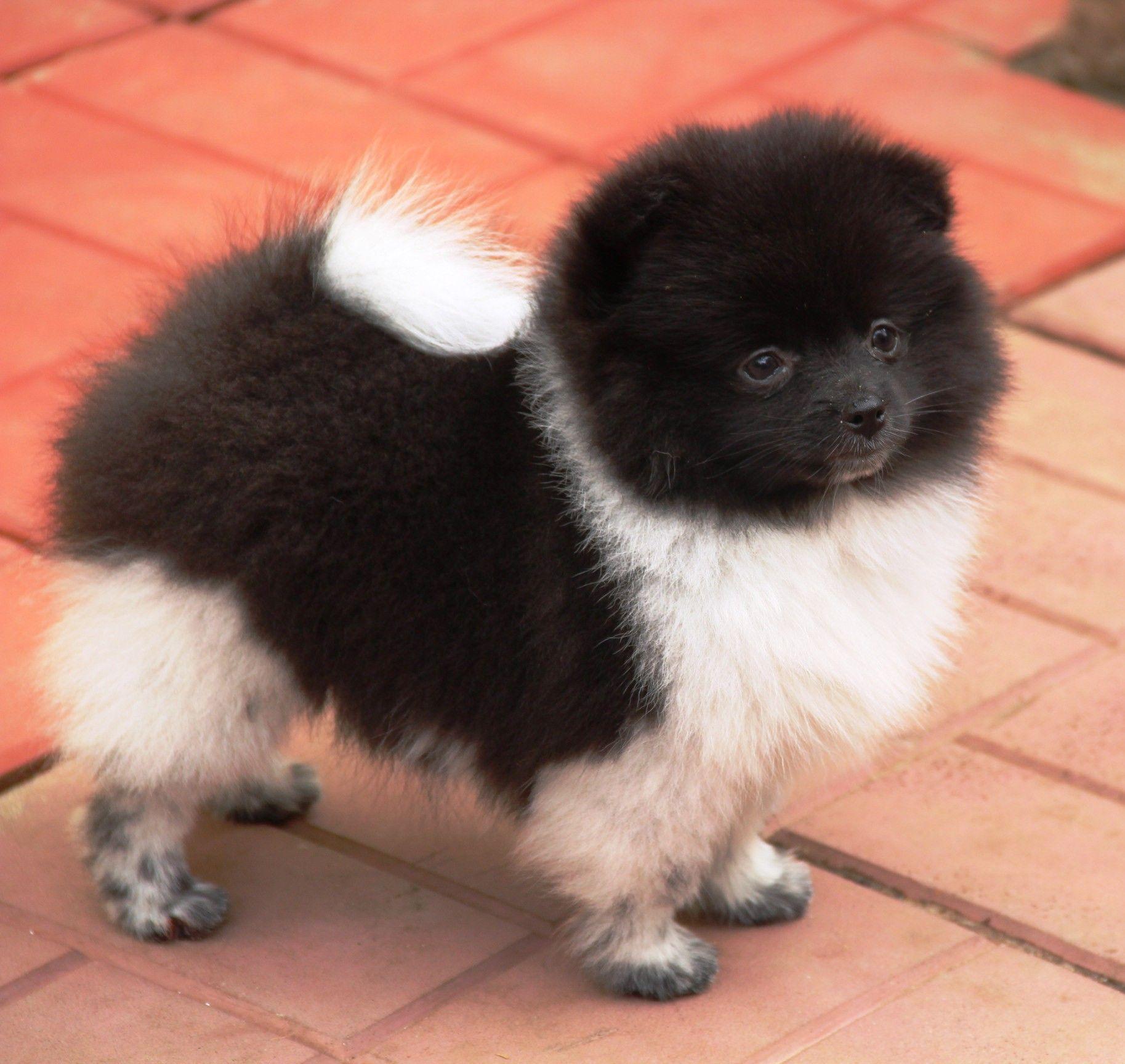 Black White Pomeranian Puppy Pomeranian Puppy Aussie Puppies White Pomeranian Puppies