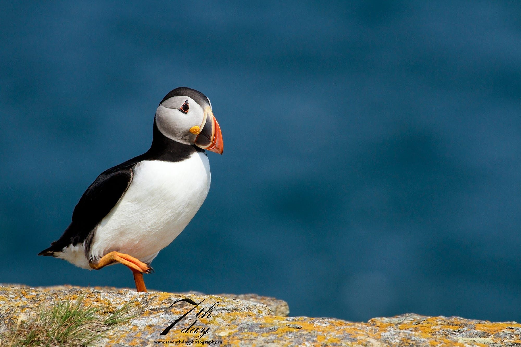 An Atlantic Puffin Out For A Stroll Along The Cliff