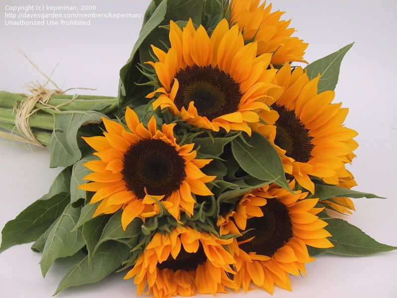 Today's bloom is Sunflower 'Zohar' (Helianthus annuus ...