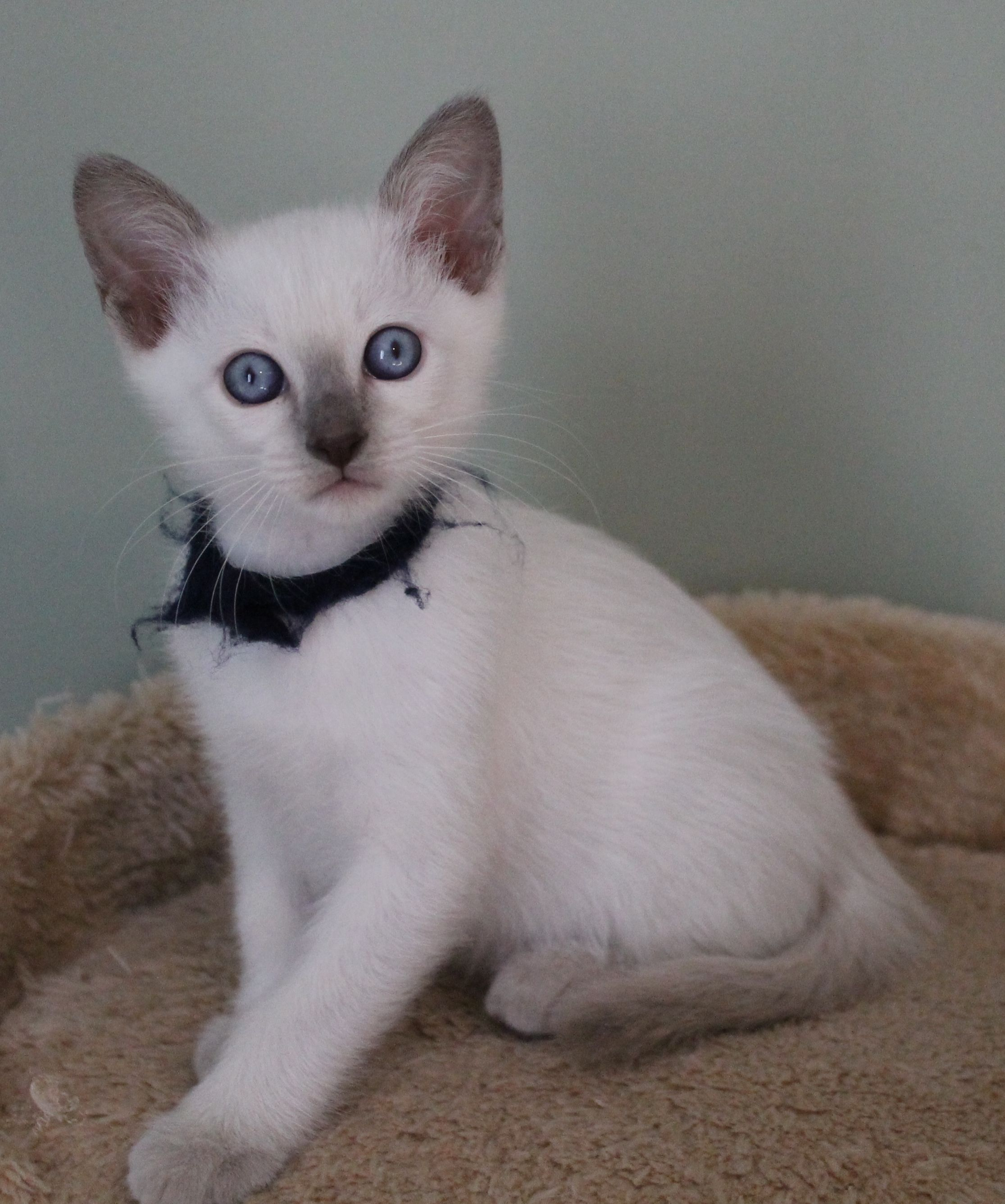 About Siamese Colours Cats And Kittens Cats Kittens