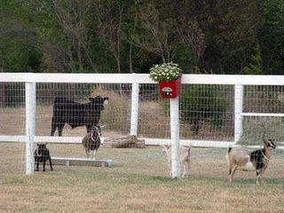 Pretty Goat Fence Goat Fencing Ideas Pinterest Goat