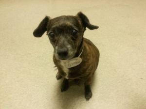 Adopt Stella The Sausage Dog On Adoptable Dachshund Dog Dogs