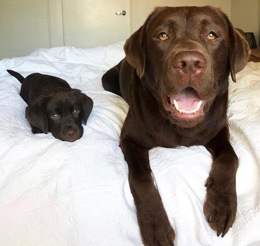 Photo of Labradors de chocolate 💖   Vía @dukethechoc_lab en Instagram