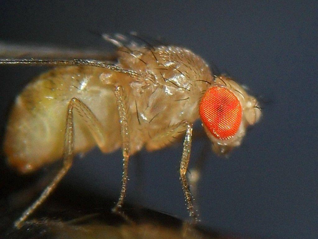 Flies Help Decipher Genetics Behind Heart Defects Fruit Flies Simple Solutions Pest Control