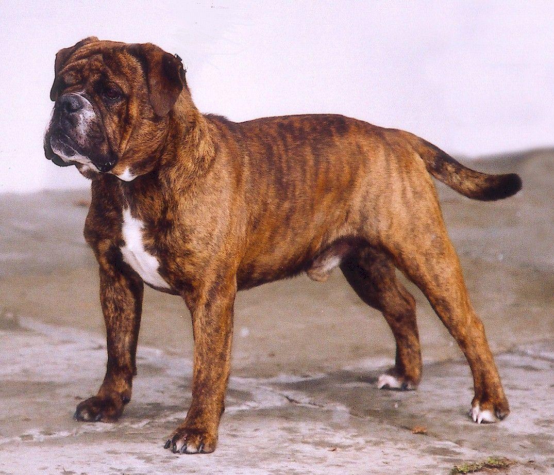 Olde English Bulldogge Breed Olde English Bulldogge For Sale In