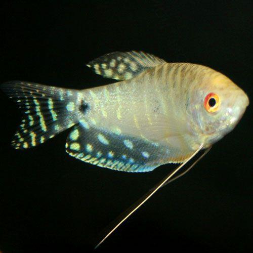 Platinum Gourami Trichogaster Trichopterus Tropical Fish Aquarium Fish Freshwater Aquarium Fish