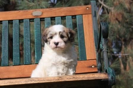 Havanese Puppies For Sale In California Havanese Puppies For Sale Havanese Dogs Puppies