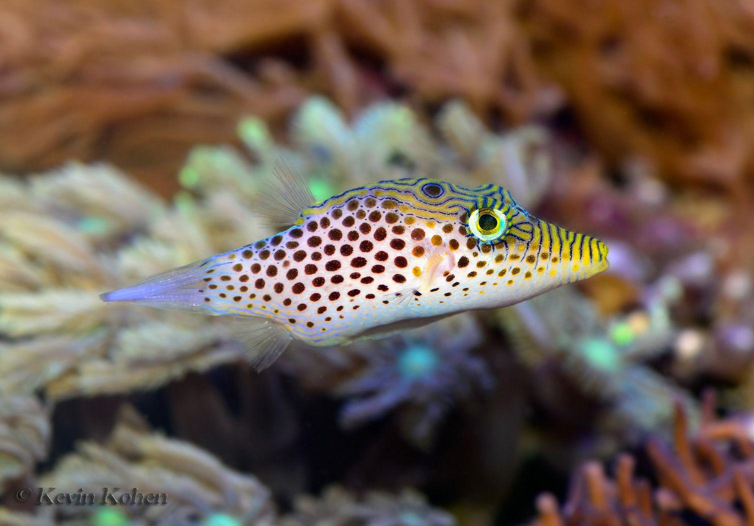 Tyler S Toby Puffer Canthigaster Tyleri Puffer Fish Fish Marine Fish