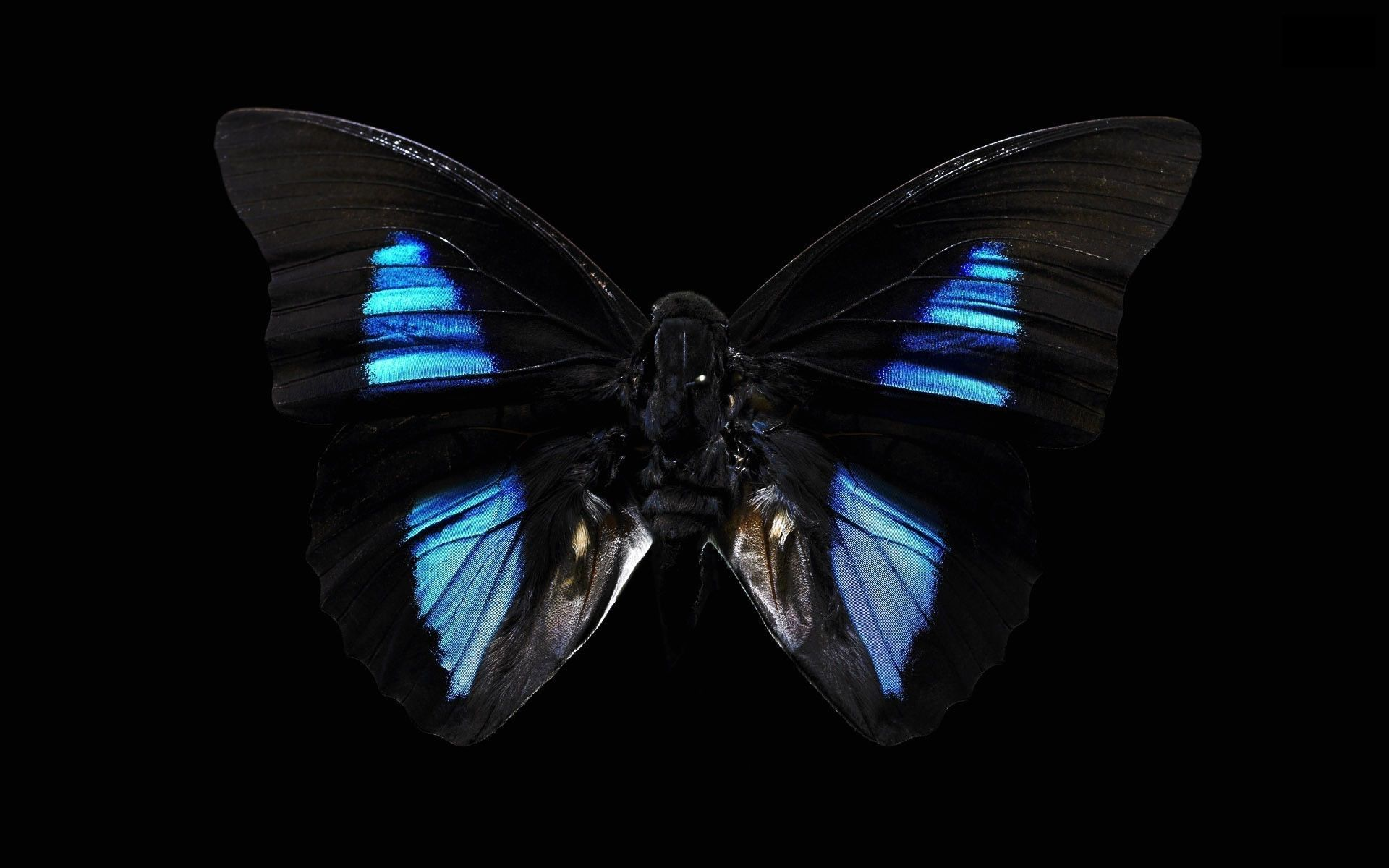 New Butterfly Pictures Black Butterfly Butterflies Hd Wallpapers Animal Wallpapers 253 Black Butterfly Black And Blue Wallpaper Most Beautiful Butterfly