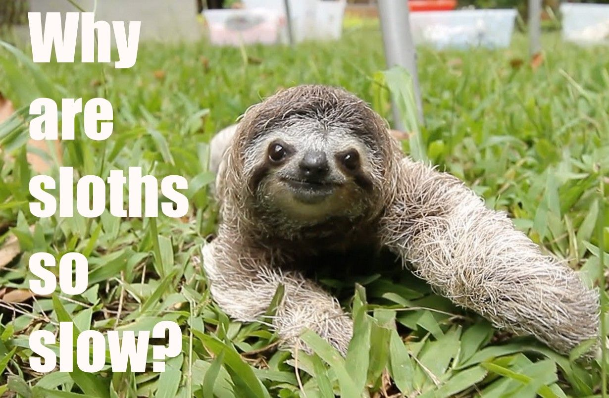 Why are sloths so slow? Slow, Sloth, Digestion