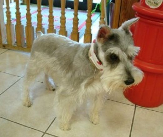 The Way Of The Terrier Or Life With A Miniature Schnauzer Schnauzer Breed Schnauzer Miniature Schnauzer