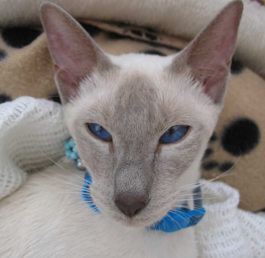 Adopt Beautiful Siamese Kittens On Petfinder Kittens Siamese Kittens Pet Finder