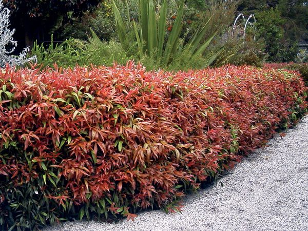Callistemon 39 greatballs of fire 39 1mt x 1mt easy care plant for Easy care garden shrubs