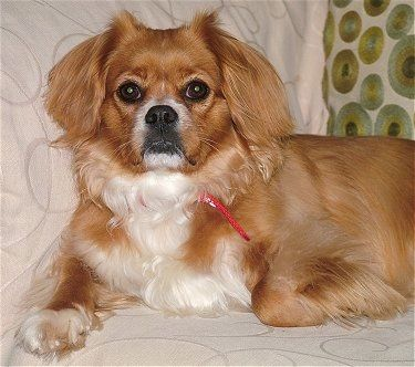 The Front Left Side Of A Red With White Tibetan Spaniel That Is Laying Across A Bed And It Is Looking Forward The Do Cuddly Animals Dog Breeds Tibetan Spaniel