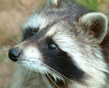 Raccoons Pet raccoon, Raccoon dog, Raccoon