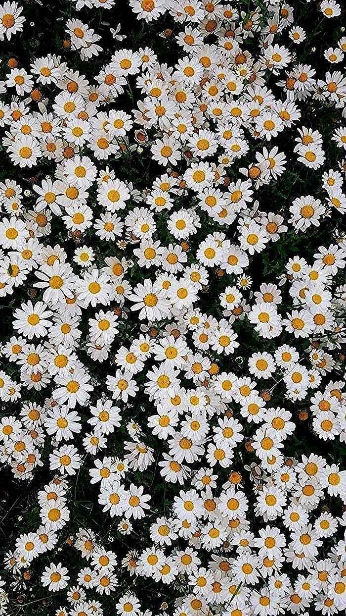spring desktop wallpaper, lots of small white daisies, floral phone wallpaper #springdesktopwallpaper spring desktop wallpaper, lots of small white daisies, floral phone wallpaper #springdesktopwallpaper
