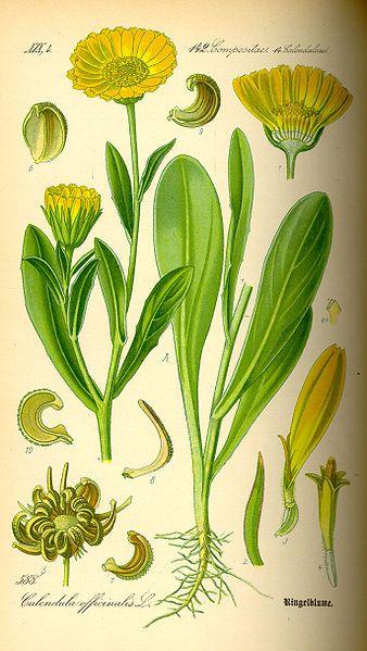 Souci Calendula Officinalis Bio Teinture Mere Garden