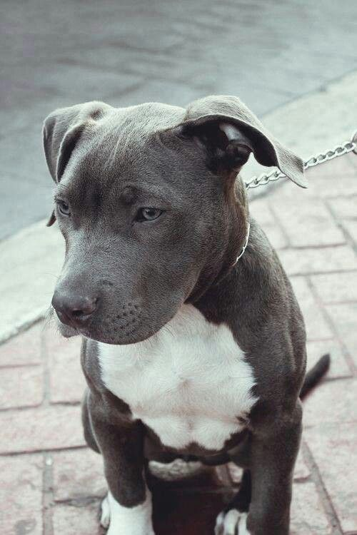 Awesome Blue Nose With Natural Ears Cute Animals Pitbull