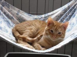 Adopt Dickens On Orange Cats Cats Humane Society