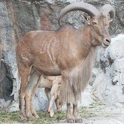 Halal Wild Goat Boneless Stew Meat 5 Lbs | Halal Wild Goat