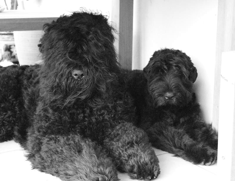 Black Russian Terrier Breeders And Breeding Kennels In The Uk
