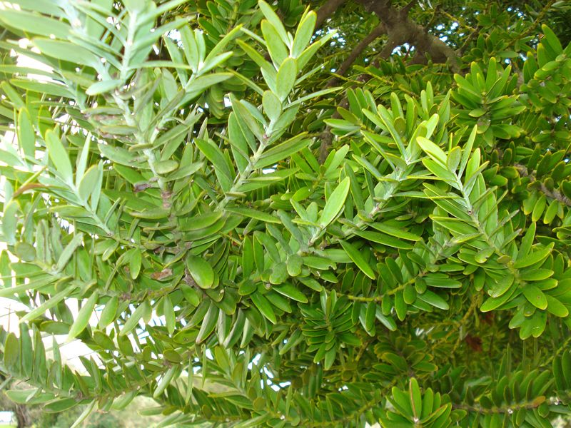 Image Result For New Zealand Native Tree Leaves Kauri Leaves Camp