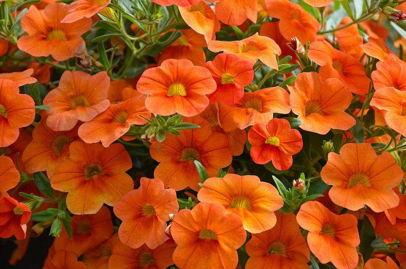 Orange Petunias Petunia Flower Petunias Flowers