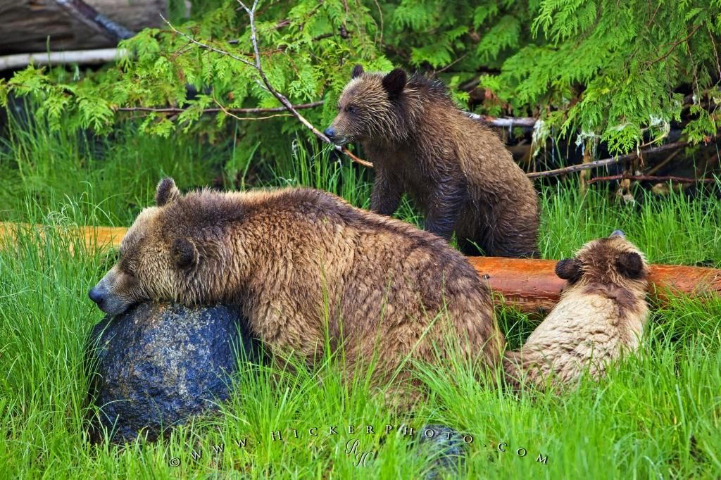 Photo of a grizzly bear family taken during a Rolf Hicker Photo Tour in British Columbia, Canada.
