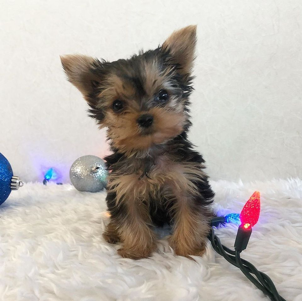 yorkie puppies for sale in pa craigslist