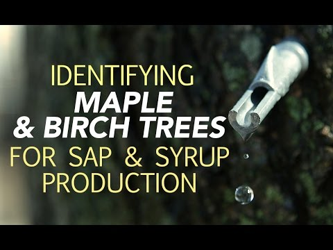 Photo of Identifying Maple & Birch Trees For Sap & Syrup Production