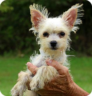 Glastonbury Ct Yorkie Yorkshire Terrier Westie West Highland White Terrier Mix Meet Cricket Meet Me A Puppy For Adoption Http With Images Yorkie Mix Yorkie Pets