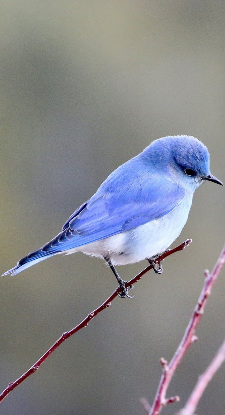 A cute little blue bird