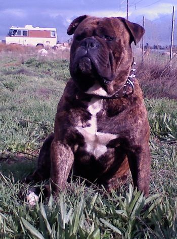 Mr Captain Crunch Bull Run Bulldog American Bulldog A B A