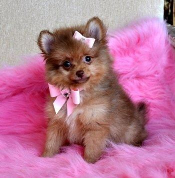 Toy Pom Chi With Images Pomeranian Puppy Teacup Toy
