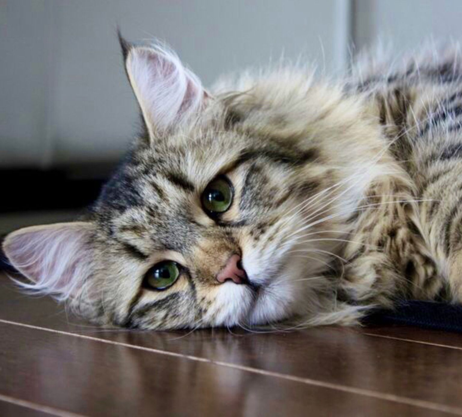 Pin By Elizabeth On Cats In 2020 Siberian Cat Siberian Forest Cat Forest Cat