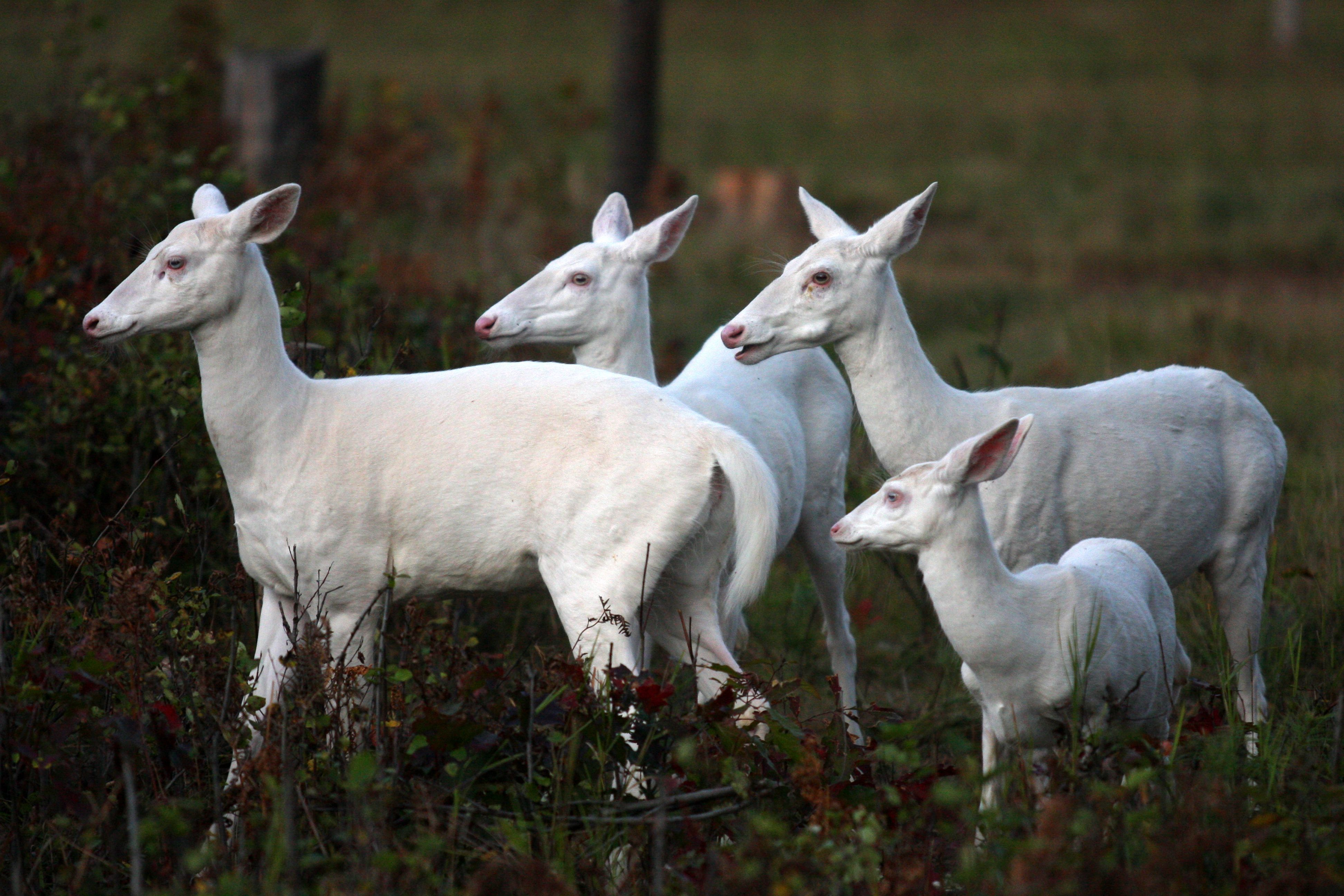 Have You Ever Seen Boulder Junction S Famous White Deer Keep Your Eyes Peeled For These Ghosts Of The Forest Albino Animals Albino Deer Rare Albino Animals