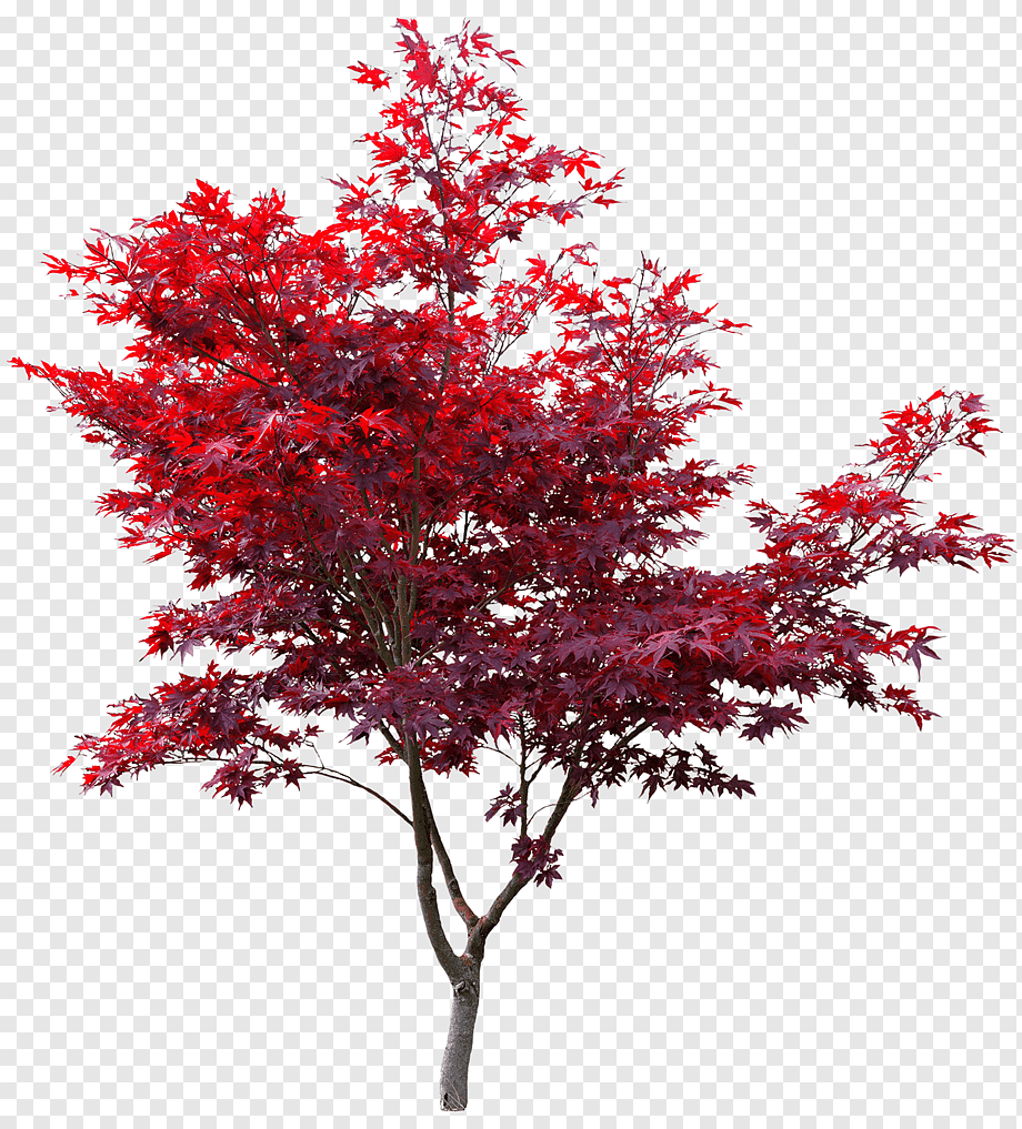 Japanese Maple Red Maple Autumn Leaf Color Maple Leaf Acer Japonicum Japan Maple Leaf Branch Png Autumn Leaf Color Red Maple Tree Pink Flowering Trees