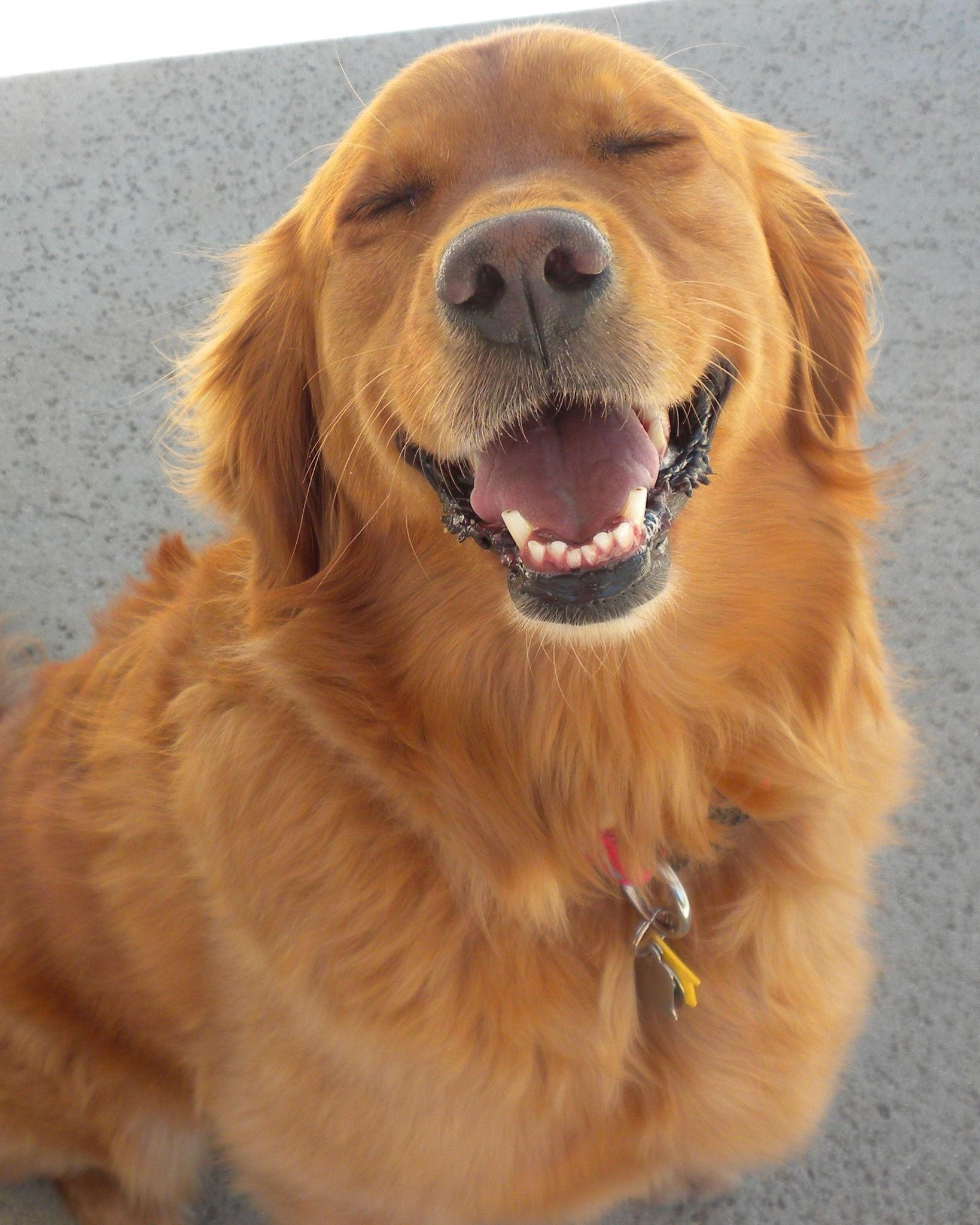 Golden S Have The Best Smiles And They Re So Happy All The Time Especially If You Add A Ball Or Squeak You To The Equation Golden Retriever Dogs Cute Dogs
