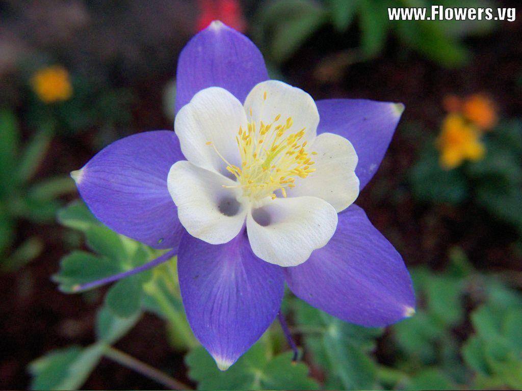 Blue purple columbines flower flowers pinterest columbine blue purple columbines flower izmirmasajfo
