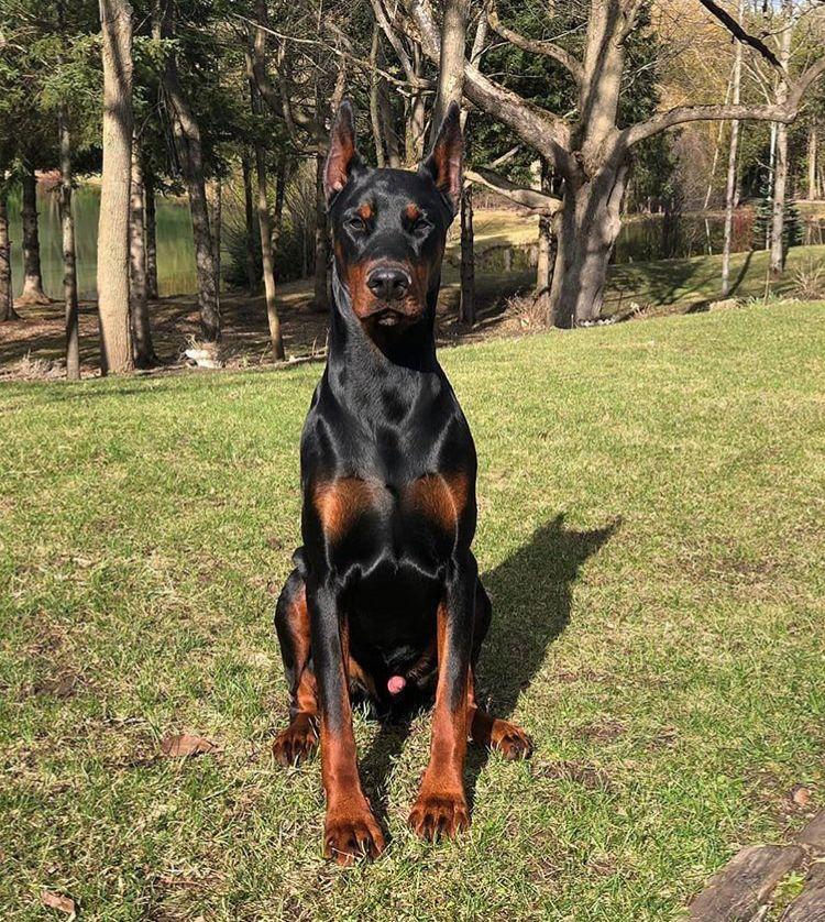 Pin By Dragan Gajcin On Doberman Dog Allergies Dog Dry Skin