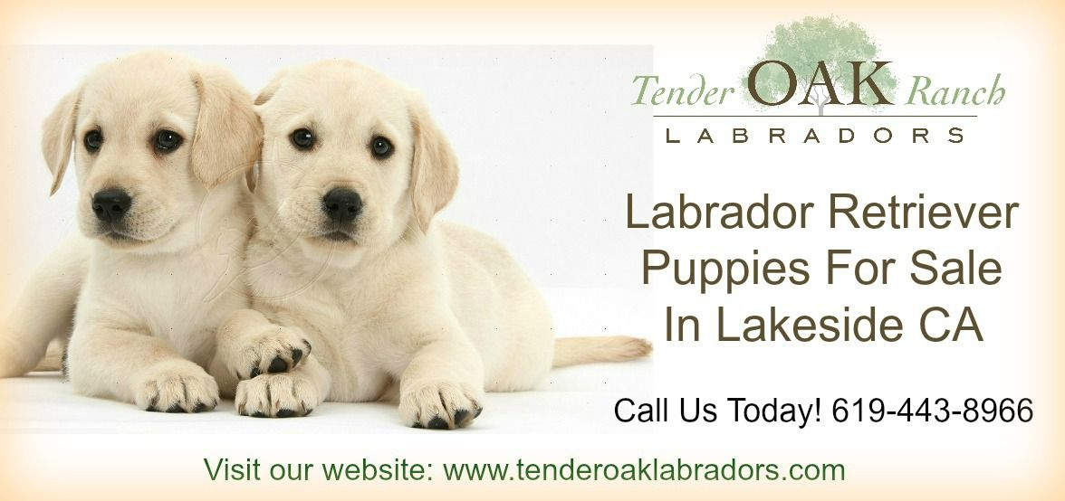 Labrador Puppies For Sale In San Diego Labrador Puppy Labrador Puppies For Sale Puppies For Sale