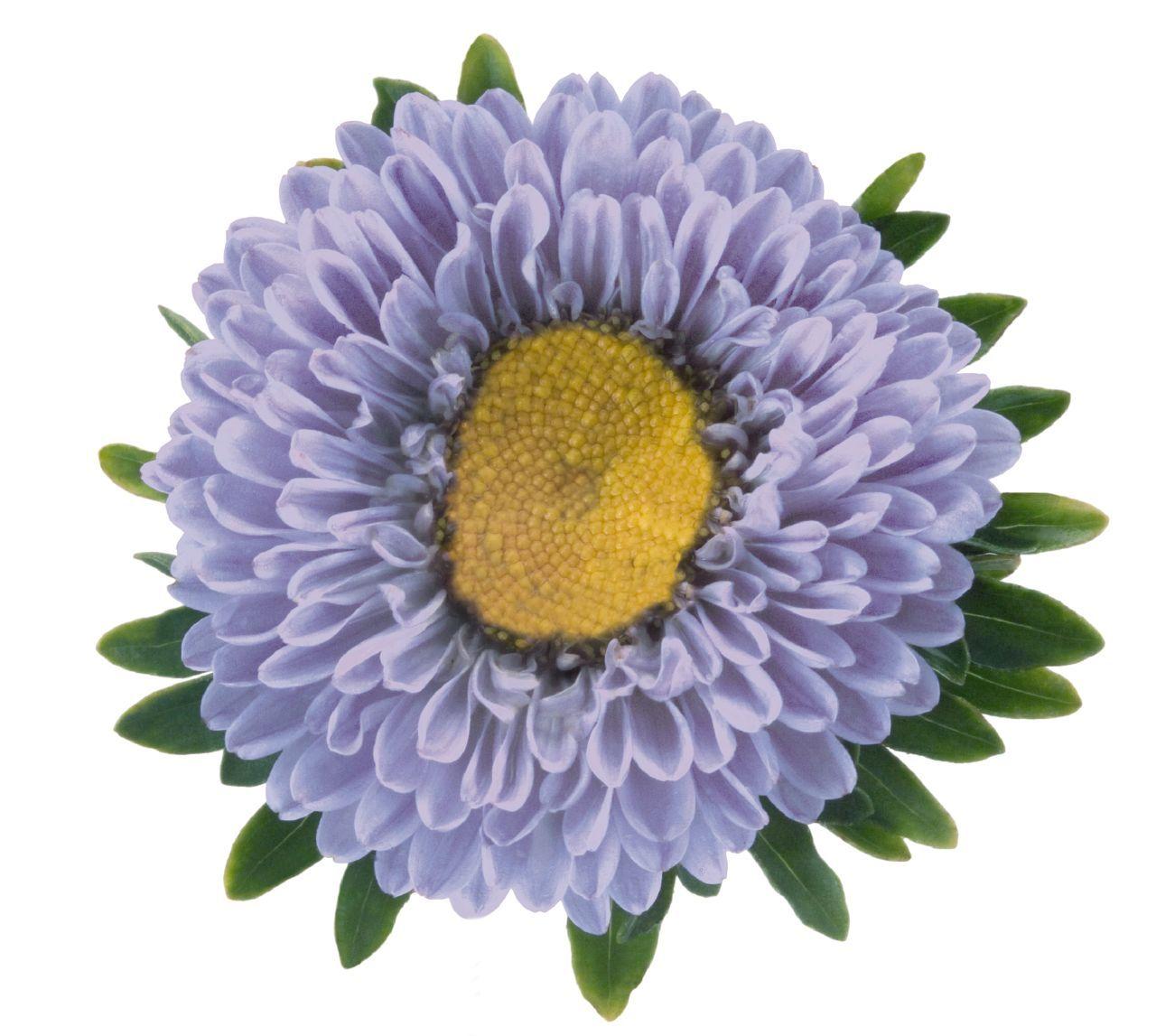 Pin by kim kelly cichocki on asters pinterest aster aster daisy margarita flower bellis perennis daisies izmirmasajfo