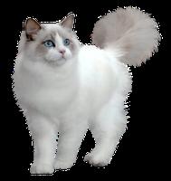 Is Not Gold White Kittens Cats Kitten