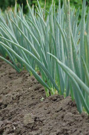 Steckzwiebeln - Anbau und Pflege Zwiebeln im GemüsebeetZwiebeln im Gemüsebeet