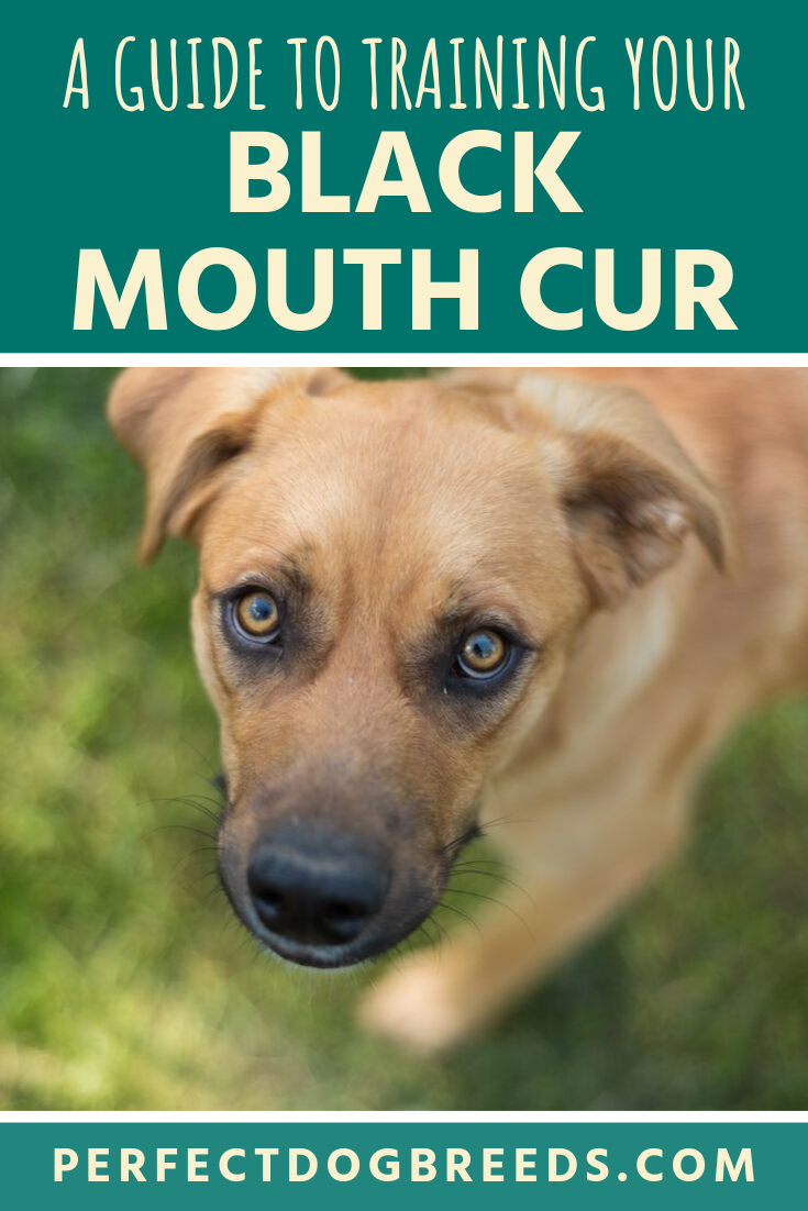 Black Mouth Cur Training