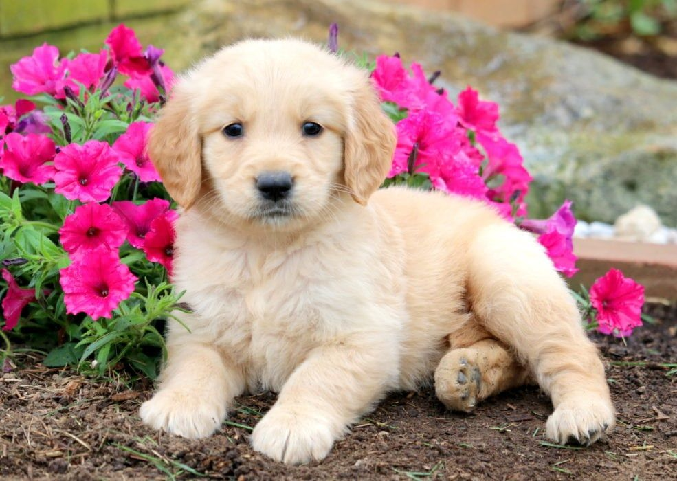 Mitsy Dogs Golden Retriever Dog Breeds Dogs